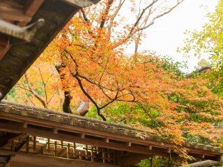 山門の上には早くも紅葉した楓が覆いかぶさる