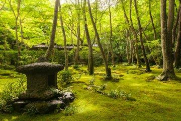 Зеленые клены