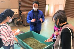 Local farmer explains to us the production method of Shimada green tea