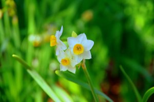 Japanese narcissus are a winter highlight