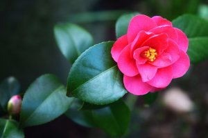 A beautiful camellia flower