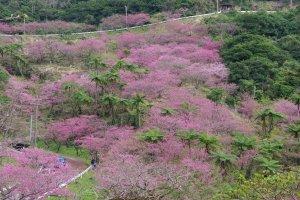 Sakura at Mt. Yae, Okinawa