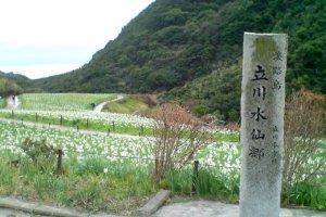 Narcissus flowers at  Tachikawa Suisen-kyo, Awaji Island, Hyogo