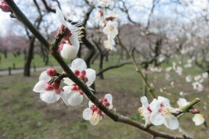 Plum blossoms at the famous Kairakuen in Mito