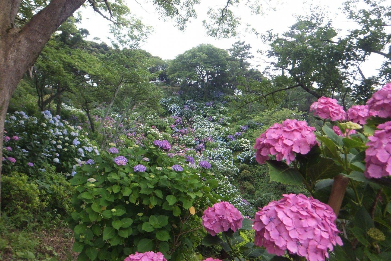 Hydrangea in Shimoda park