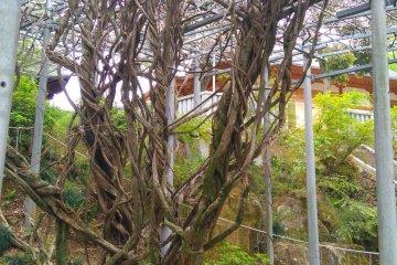 Eternal wisteria