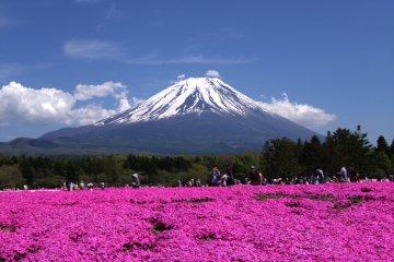 A spectacular view of Fuji and shibazakura in Yamanashi
