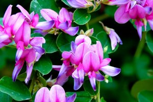 Pink flowers of Japanese bush clover