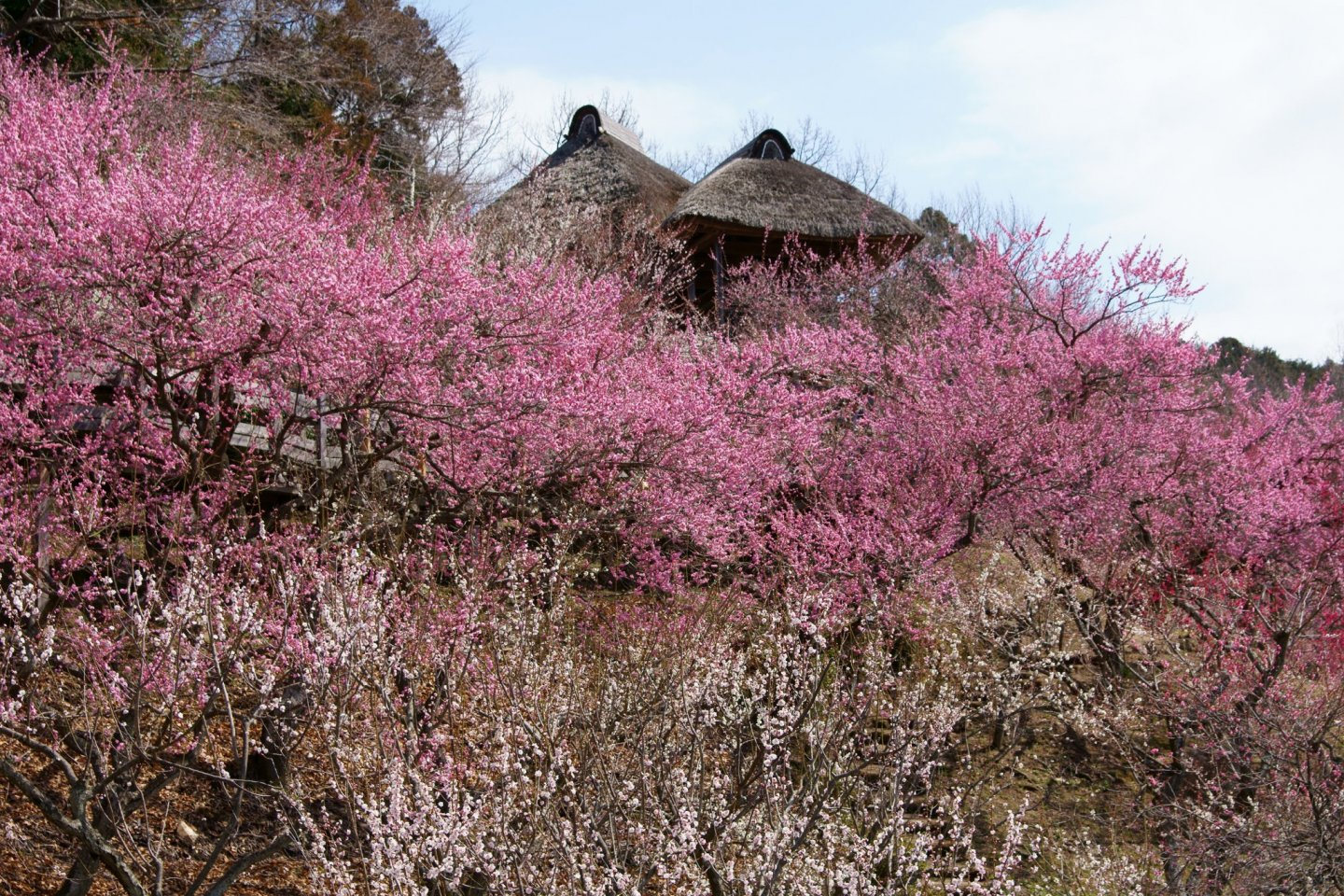Plum blossoms in bloom at Mount Tsukuba