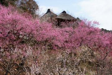 Mount Tsukuba Plum Festival