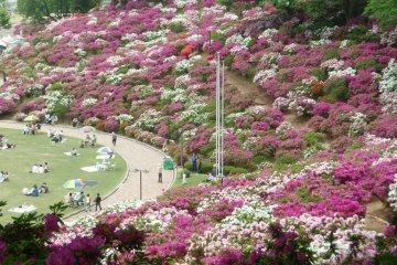 Nishiyama Park Azalea Festival