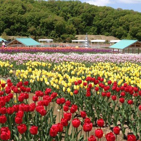 Echigo Hillside Park Tulip Festival