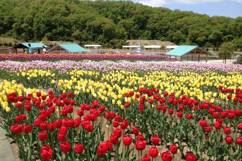 Echigo Hillside Park's tulip festival is a colorful delight