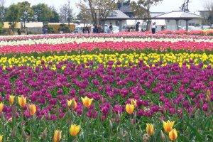 Beautiful tulips at Wada Park