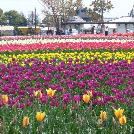 Inashiki Tulip Festival