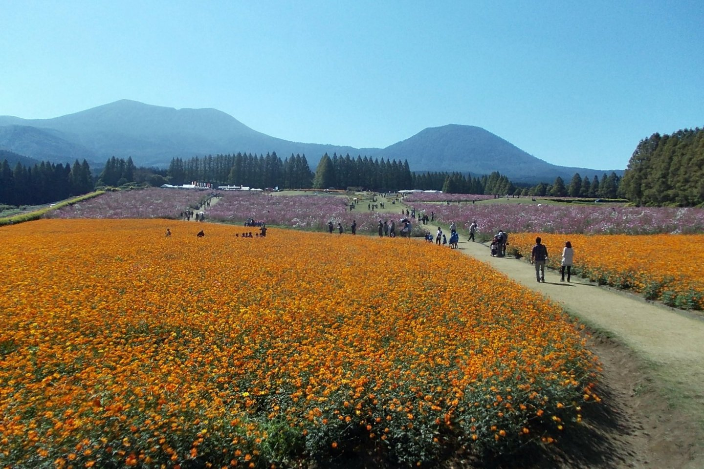 Cosmos in various colors can be enjoyed at the Ikoma Plateau