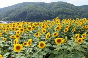 Over one and a half million sunflowers are on display at this event