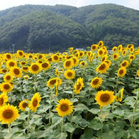 Nanko Sunflower Festival