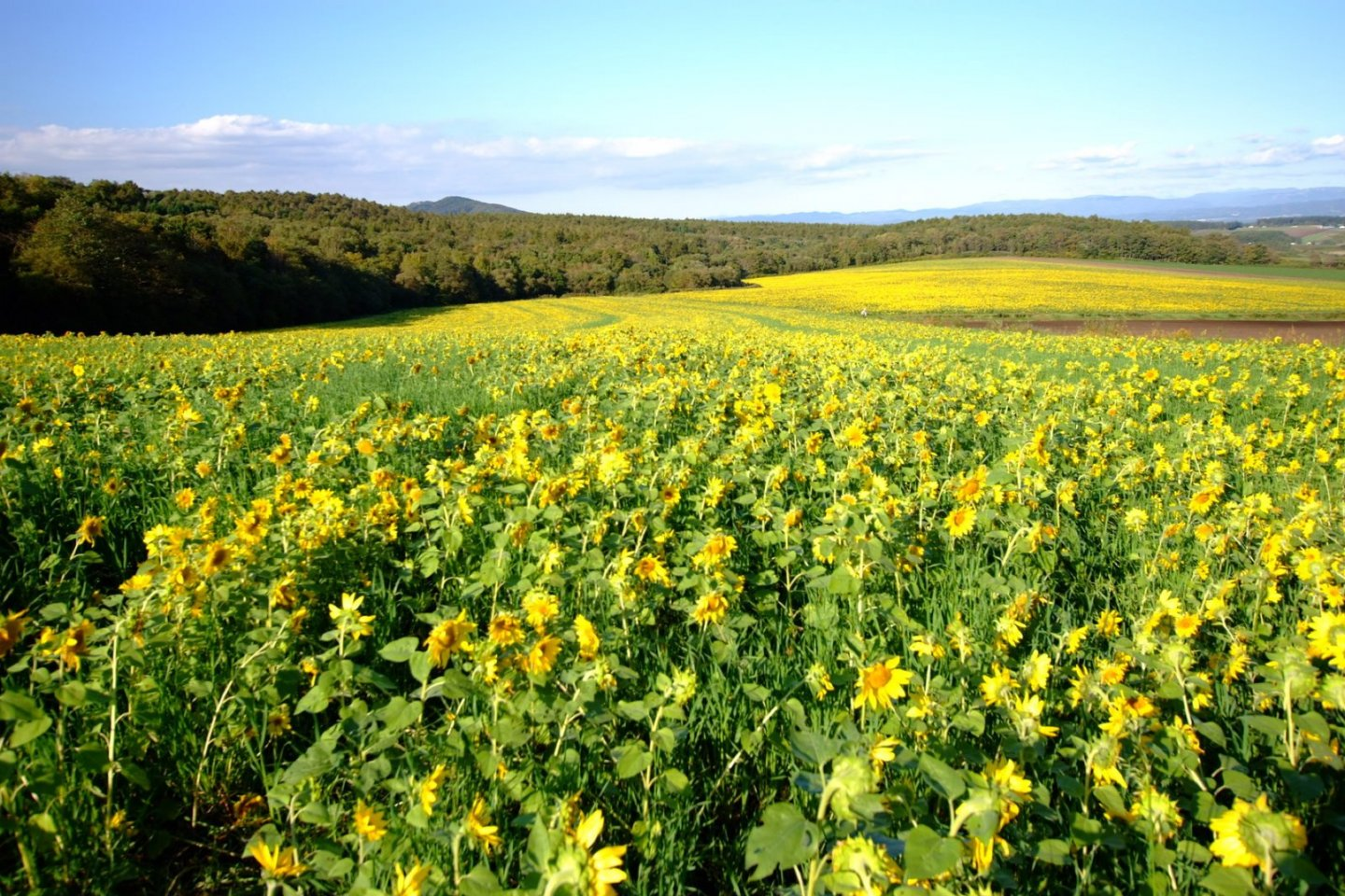 Sunflowers as far as the eye can see at Palette Hill