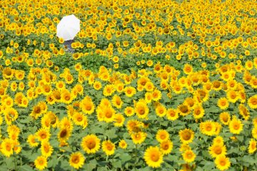 5 Sunflower Fields to Visit in Japan