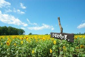Sunflowers at the Hokuryu Sunflower Field, Hokkaido