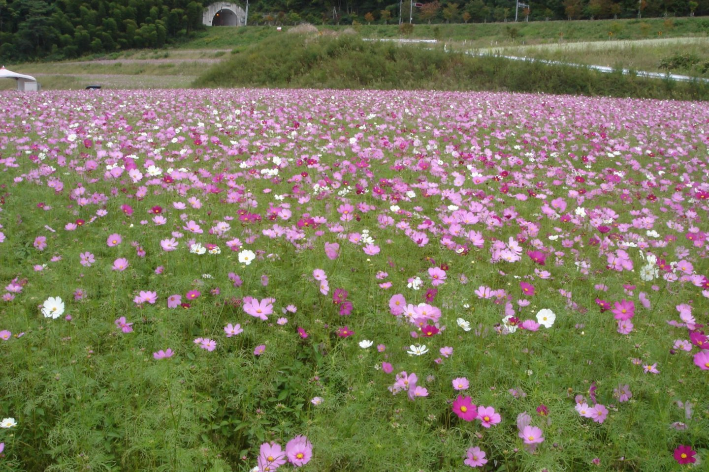 Iinan Town in Shimane is home to hundreds of thousands of cosmos in autumn