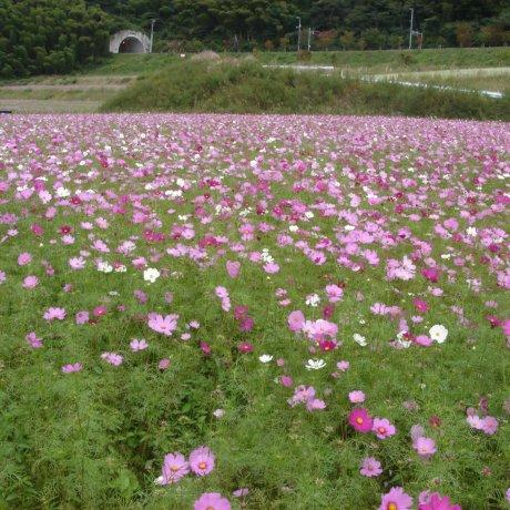 Higashi Sanbin Flower Valley Cosmos Festival