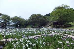 Irises abound at Miyajidake Shrine