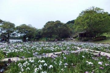 Miyajidake Shrine Iris Festival