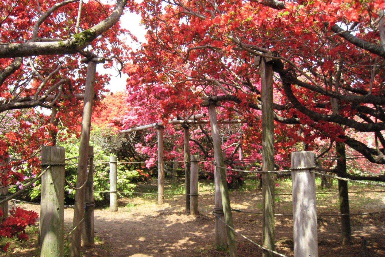The azalea tunnel at Gunma\'s Tsutsujigaoka Park