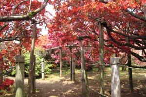 The azalea tunnel at Gunma's Tsutsujigaoka Park
