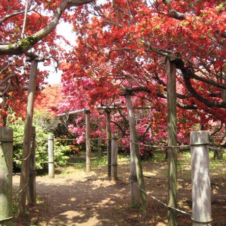 Tsutsujigaoka Park Azalea Festival