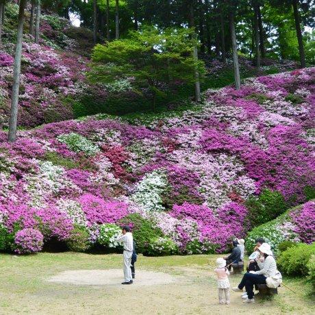 Azalea Season at Daikozenji Temple