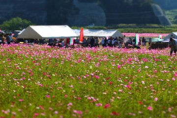 Maenohama Cosmos Festival