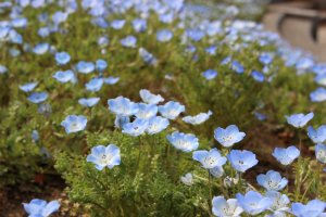 Nemophila or Baby Blue Eyes. Hitachi Seaside Park is one of the most famous places for nemophila scenery.