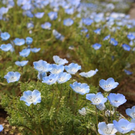 Nemophila Season at Hitachi Seaside Park