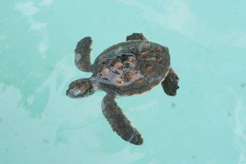 Turtles of Chichijima