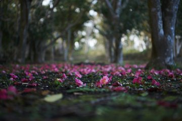 Toshima's blanket of camellias