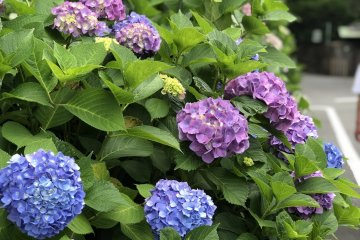 Hydrangeas in Season (June)