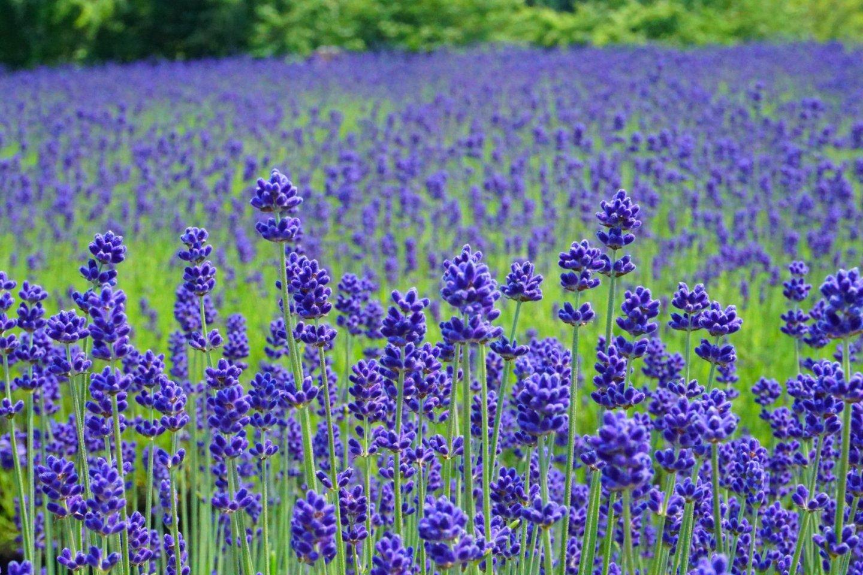 Lavender in Misato Town, Akita