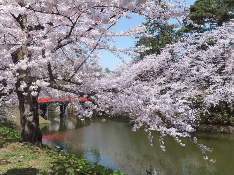 Sakura season at Hirosaki Castle Park