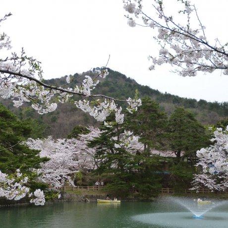 Mato Park Sakura Festival
