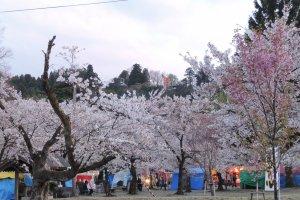 Beautiful sakura trees at Niigata's Muramatsu Park