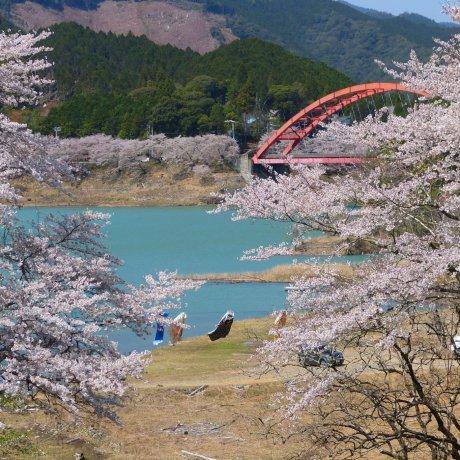 Sakura Season at Shichikawa Dam