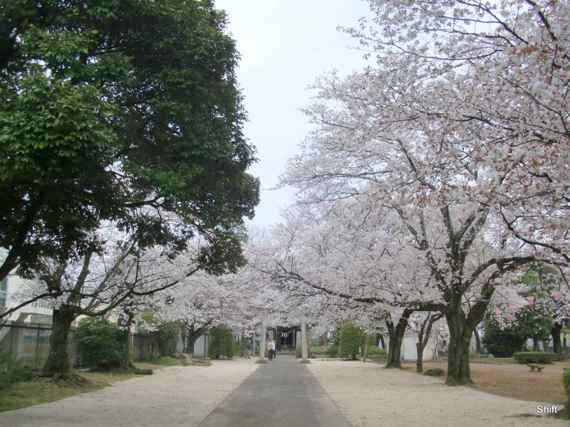 A sakura experience without the crowds