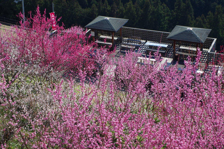 Vibrant plum blossoms at Hirohashi Bairin