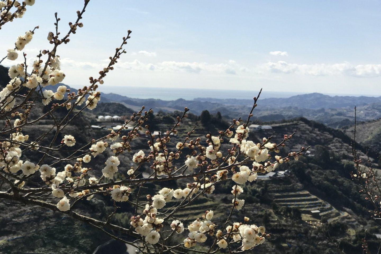 Ume trees at the Kishu Ishigami Tanabe Ume Orchards