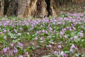 Dogtooth violets at Katakuri no Sato
