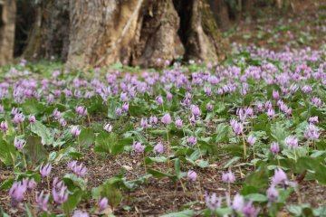Dogtooth Violets at Katakuri no Sato