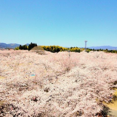Tadamoto Park Cherry Blossom Festival